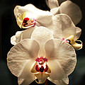 White Orchids by Marla Osborn