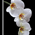 White Orchids On Black Vertical by Gill Billington