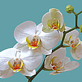White Orchids On Ocean Blue by Gill Billington