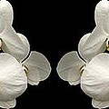 White Orchids Panorama by Rose Santuci-Sofranko