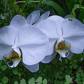 White Orchids by Roger Mullenhour