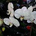 White Orchids by Fortunate Findings Shirley Dickerson