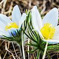 White Pasque Flower by Jeelan Clark