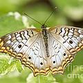 White Peacock by Bryan Keil