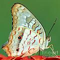 White Peacock Butterfly Anartia by Millard H. Sharp