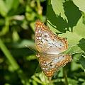 White Peacock Butterfly by Jane Luxton