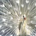 White Peacock  by Daliana Pacuraru