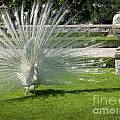 White Peacock Display by Brenda Kean