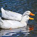 White Pekin Ducks #2 by Ann Murphy