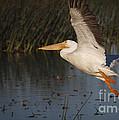 White Pelican 198 by Maria  Struss