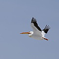 White Pelican In Flight by Marty Fancy