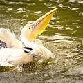 White Pelican by Jijo George