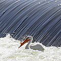 White Pelican Over The Dam by Carol Groenen