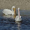 White Pelican Pair by Ralph Brunner