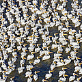 White Pelican Party by Patrick M Lynch
