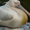 White Pelican Sitting by Susan Garren