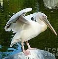 White Pelican Standing  by Susan Garren