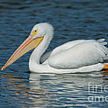 White Pelican Swimming by Anthony Mercieca