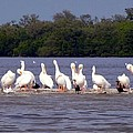 White Pelicans And Little Friends by Barbie Corbett-Newmin