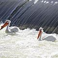 White Pelicans  by Carol Groenen