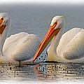White Pelicans by David Salter