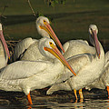 White Pelicans by Diana Haronis