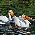 White Pelicans Fishing For Trout by Kathleen Bishop