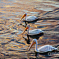 White Pelicans  In Golden Water by Robert Bales