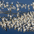 White Pelicans On Blue by Patrick M Lynch