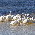 White Pelicans On Sanibel Island by Christiane Schulze Art And Photography