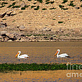 White Pelicans by Robert Bales