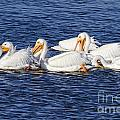 White Pelicans by Ronald Lutz