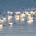 White Pelicans by Zina Stromberg
