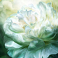White Peony by Carol Cavalaris