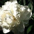 White Peony In Spring by Michelle Calkins