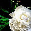 White Peony by Michelle Calkins