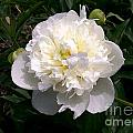 White Peony Watercolor Effect by Laurie Eve Loftin