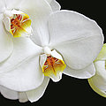 White Phalaenopsis Orchid Flowers by Jennie Marie Schell