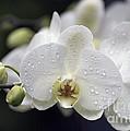 White Phalaenopsis With Water Drops 5797 by Terri Winkler