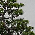 White Pine Bonsai by Susan Herber