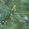 White Pine Flower N Spittle Bug by Rob Luzier