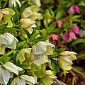 White/pink Lenten Roses by Mel Hensley
