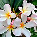 White Plumeria - 1 by Mary Deal