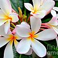 White Plumeria - 2 by Mary Deal