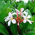 White Plumeria In Foliage by Mary Deal