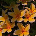 White Plumeria by Miguel Winterpacht