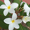 White Plumeria by To-Tam Gerwe