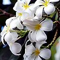 White Plumeria by Trever Miller