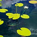 White Pond Lily by Gary Richards