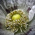 White Poppy by Frank Tschakert